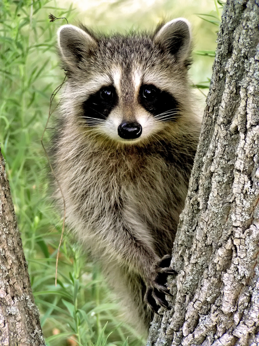 Tips for keeping annoying animal pests out of your garden - How to keep raccoons out of garden ...